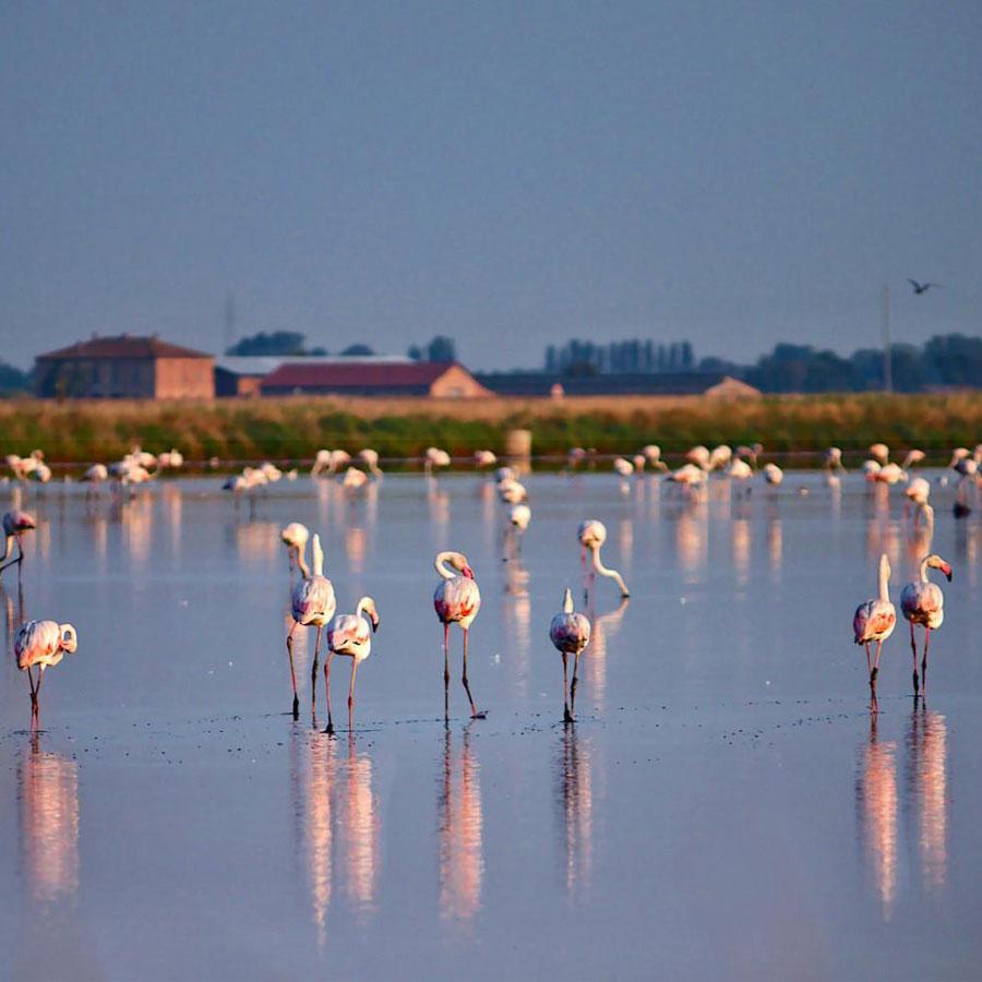 fenicotteri nel delta del Po